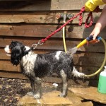 The mixer tap is great for dog washing.